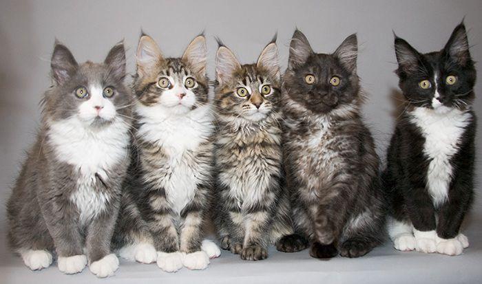nhiều mèo